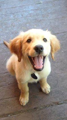 Golden Retriever Puppy Happy