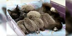 A loving cat took in eight orphaned hedgehog babies as her own after they lost their mother in a lawnmower accident.Meet Musya the cat and her hoglets!         RT UK         The tiny hedgehogs were found after their mother was hit by a lawnmower. Caregivers at Sadgorod Zoo in Vladivostok, Russia, to...