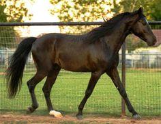 Florida Cracker Horses are gaited