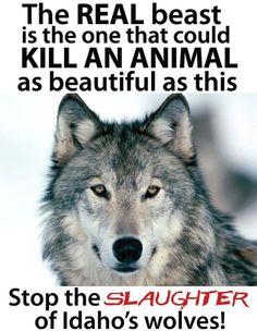 The Wolf Howl Heard Around the World Photo
