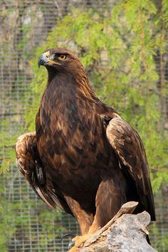 Golden Eagle. I saw a pair of these while staying in Ponca, AR.