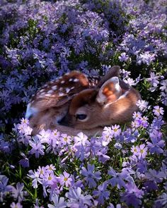 """""""The real life Bambi : A fawn resting in a field of flowers photo by Amanda Millet"""" Cute Baby Animals, Animals And Pets, Funny Animals, Wild Animals, Nature Animals, Bizarre Animals, Artic Animals, Unusual Animals, Woodland Animals"""