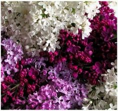 Lilac, lilac and lilac. I can smell them.