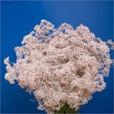 Buy wholesale Gypsophila dyed pink for delivery direct to any UK address - wholesaled in Batches of 25 stems. Ideal for wedding flowers, floral design & corporate events. No minimum order required - Floral accessories also available. Pink Dye, Florist Supplies, Gypsophila, Cut Flowers, Pink Flowers, Event Planning, Wedding Flowers, Floral Design, Things To Come