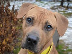 COACH is an adoptable Dog - Labrador Retriever & Pit Bull Terrier Mix searching for a forever family near Pittsburgh, PA. Use Petfinder to find adoptable pets in your area.