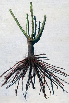 "Bare Root Rose, Rose Roots, Dormant Rose ""Dream Team's"" Portland Garden Weeks Roses Wasco, CA"