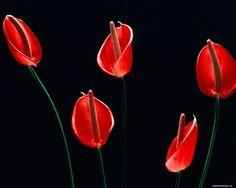 Красные цветки на чёрном фоне, красное, цветы, чёрное 1280х1024 ... namonitore.ru1280 × 1024Buscar por imagen обои для рабочего стола. Красные цветки на чёрном фоне, красное, цветы, чёрное 1280х1024 CLAVEL ROJO SOBRE FONDO NEGRO - Buscar con Google