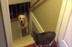 HIlarious video of the dominant pet in many houses - See how many dogs are too scared to walk past the cat of the house, even when they have been called by their owners.