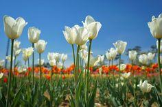 #풍경#감성#풍경사진#감성사진#감성스타그램#컨셉사진#스냅사진#follow4follow #like4like #風景#travel#풍경스타그램#화보#봄#여행  #꽃#flower#flowers#튜울립#tulip#tulips#튤립#nature#자연#korea#청주#푸른하늘