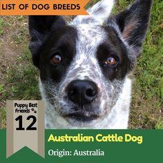 Australian Cattle Dog Breeds  #australiancattledog