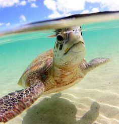 Turtle time on Lord Howe Island! Must do this too