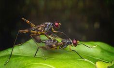 stilt Legged fly Mating