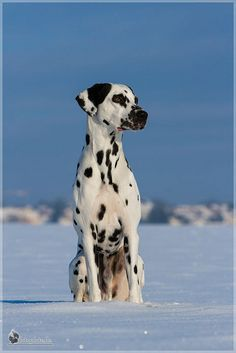 Dalmatian in the cold Big Dogs, Large Dogs, Dogs And Puppies, Doggies, Dalmatian Dogs, Snow Dogs, Puppy Care, Mundo Animal, Beautiful Dogs