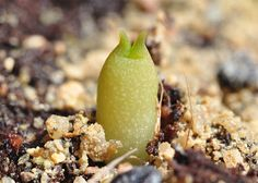 A description of growing Echinocactus polycephalus and Echinocactus horizonthalonius from seed. Seedling pictures of regular seedlings, seedlings in the process of damping off, and slightly etiolated seedlings. The seeds are started in clear plastic bags outdoors on my balcony