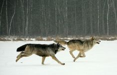 running wolves - Google Search