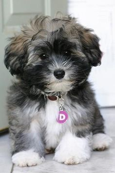 Havanese puppy...cutest best hypoallergenic dogs out there....smart, curious and they LOVE kids.