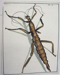 Stick Insect, Dru Drury, Illustrations of natural history, 1770-1773, University of Glasgow Library