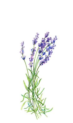 Lavender Botanical Print Illustration by WatercolorsByMonika