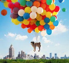 UP Pug ❤ #puginvasion #pugs