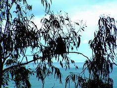 A koala kickin it in an eucalyptus tree. Taken somewhere along the Great Ocean Road in Victoria.