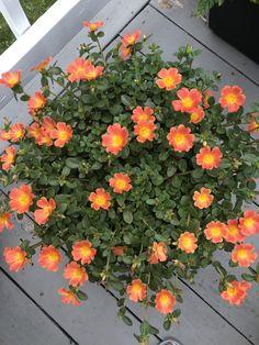 Brought this Portaluca back from the half/dead Portulaca Flowers, Flowers Perennials, Planting Flowers, Portulaca Grandiflora, House Plants Decor, Plant Decor, Exotic Flowers, Beautiful Flowers, Purslane Plant
