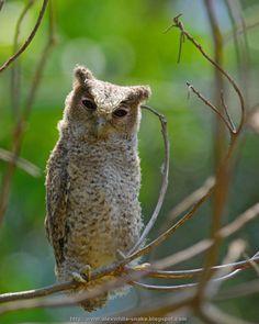 Collared Scops Owl (Otus lettia)