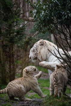 "magicalnaturetour:  ""Give me five by Cloudtail the Snow Leopard A white tiger cub playing with his dad. I've seen this at Zoo d'Amnéville in France. http://flic.kr/p/tC3SkN  """