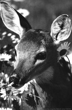 جمال بلأبيض و الأسود | غزال جميل  Beauty in black & white | pretty deer.