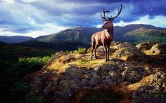 Red Stag, Lake District