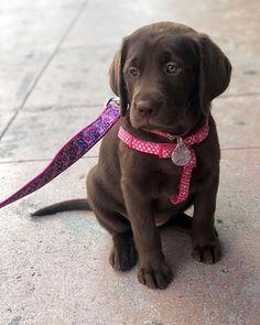 Adorable Chocolate Lab Puppy #lab #puppy #chocolatelab #labrador #puppy