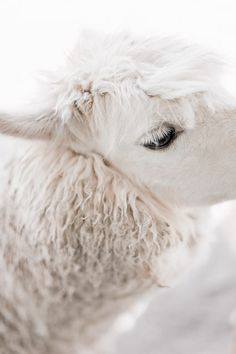 alpaca - look at those eyelashes!  Wow!