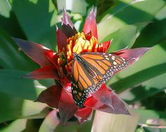 Monarch Butterfly on a Bromeliad - If you would like to purchase this picture, please follow the link to Fine Art America.