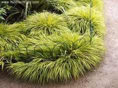 Golden Hakone is a lovely shade plant perfect as a ground cover under your trees.