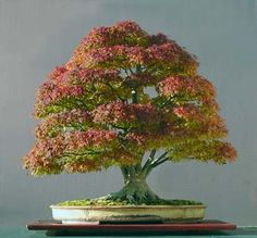 Japanese Maple (Acer palmatum) Bonsai and photograph by Walter Pall