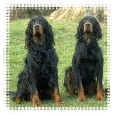 Gordon Setter... my favorite breed.