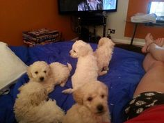 Adorable White Miniature Poodle Puppies, Male & Female, 1-3 months.  Based in Hemel Hempstead.