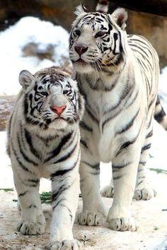 White Bengal Tigers.