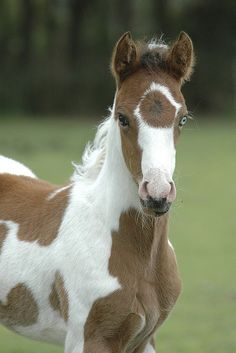 Beautiful Light Chestnut Paint Foal. Love that face and markings! Check out that blue eye..