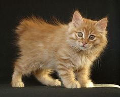 Pictures of Kurilian Bobtail Kitten