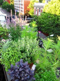 Herbs on the balcony garden. Beautiful display!