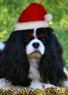 Cavalier King Charles Spaniel Christmas