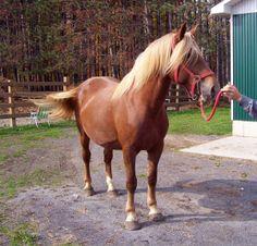 Canadian Horse mare Canadian Farm Jerrycho Mary