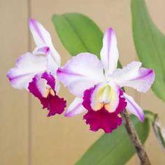 Orchid Fatari 'Carmela'. (Brassavola x Laelia x Cattleya hybrid.)