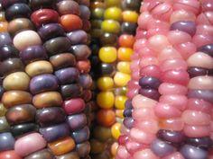 Organic Glass Gem Native American Heritage Corn Seeds - Cherokee Heirloom 48 Seed Packet on Etsy, $4.99