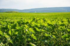 Фасоль (?). © Павел Можаев (http://mevamevo.livejournal.com/). #Crimea #Plant #Plants