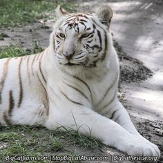 Zabu Tigress hanging out in the shade, daring Cameron to come share it with her.