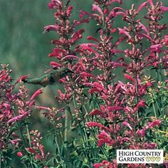 Texas Hummingbird mint is a very rare wildflower with aromatic, raspberry- pink flowers that cover the plant for several months in late summer. Highly attractive to hummingbirds.