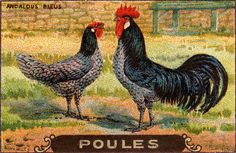 poules 17 by pilllpat (agence eureka), via Flickr