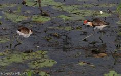 Images by Christine Walsh: jacanas