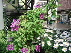 Clematis and magaret, in my garden,   South Korea